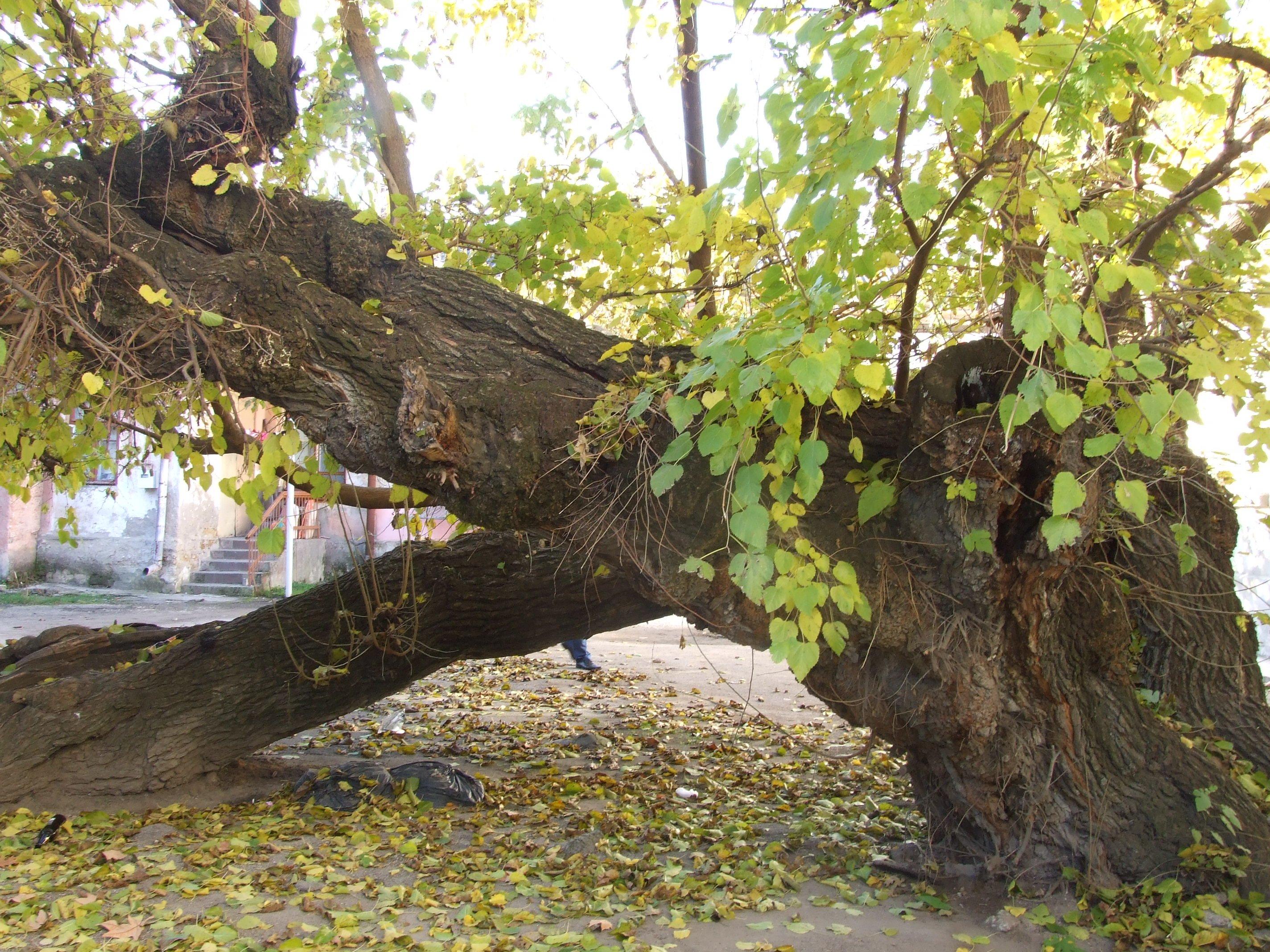 старое дерево в саду