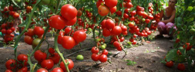 шпалеры для помидоров