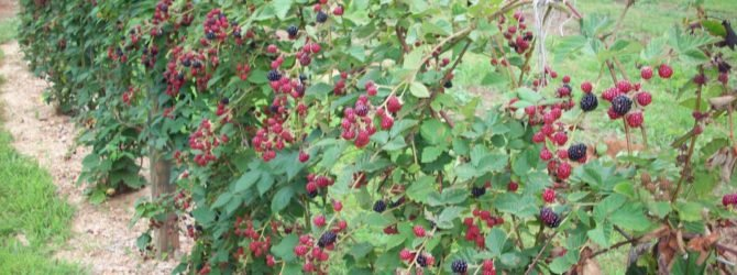 Защита ягод от птичьих налетов