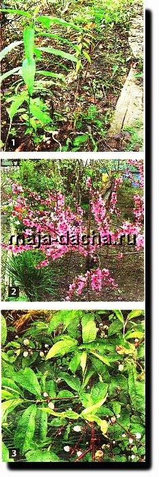 Персиковое дерево1