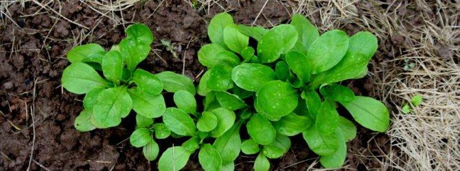 рапунцель салат