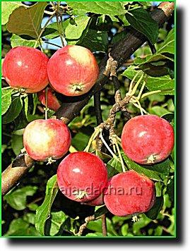 Универсальные плодовые деревья
