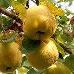Приспособление для снятия плодов с деревьев.