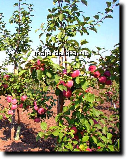 Сады на карликовых подвоях быстро вступают в плодоношение и быстро наращивают урожайность, плоды дают высокого...