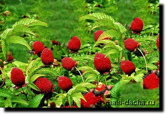 Розалин или розоволистная малина