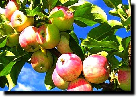 Шмелей собирающих нектар ведь яблоня