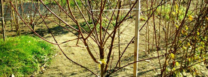 несколько прививок на одном дереве