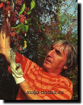 Как вырастить буйловую ягоду