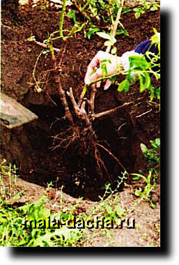 Снимок73Весенняя посадка розы фото