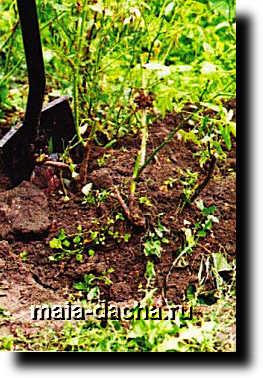 Снимок75 Весенняя посадка розы