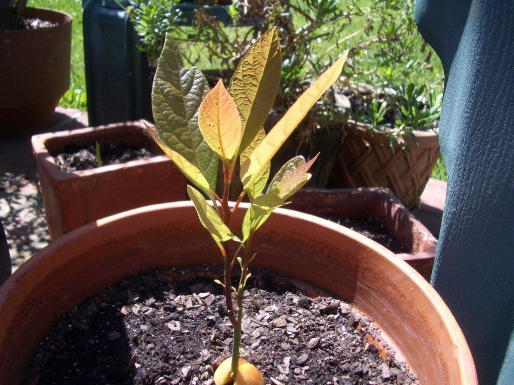 Выращиваем персик