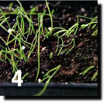 Как вырастить репчатый лук за один сезон