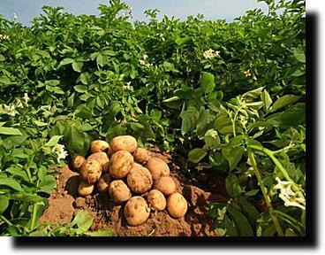 Оригинальный способ выращивания картошки...