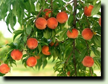 дерево абрикоса фото