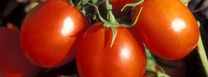 сорт томата - Персик