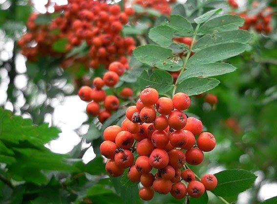 Рябина обыкновенная: выращивание и уход Дача своими руками