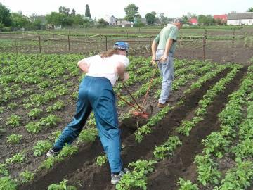 Как вырастить здоровый картофель фото