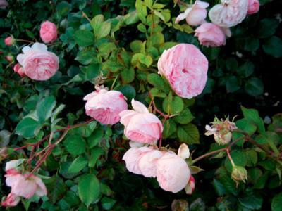 Парковые розы фото