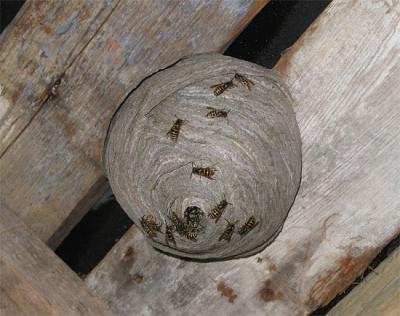 Как бороться с осами и пчелами на даче фото