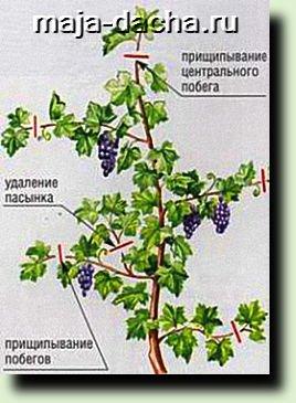 prishipka-i-pasynkovanie-vinograda-216x300