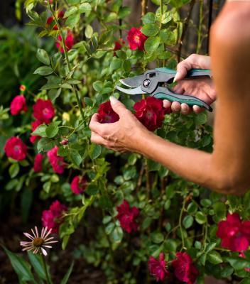 Парковые розы: посадка и уход фото