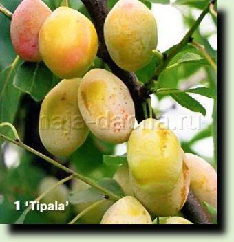 Tipala' — сорт сливы домашней.