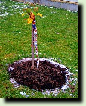 обвязываем деревья на зиму