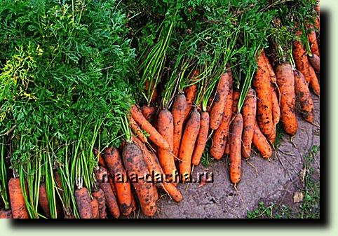 убираю морковь