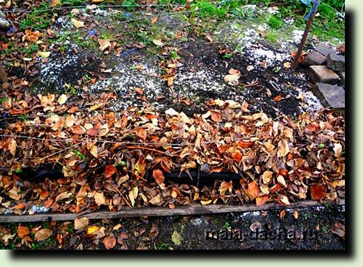 укрываем виноград листьями на зиму