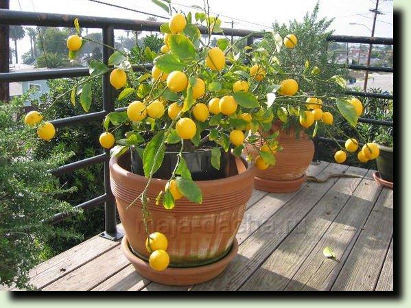лимонное дерево посадка уход