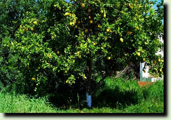 дерево лимона фото