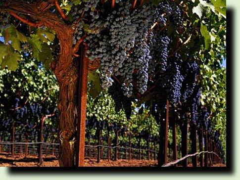 Озимый виноград