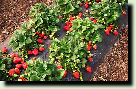 Земляника: гарантированный урожай фото