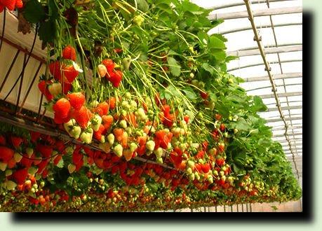 Земляника: гарантированный урожай