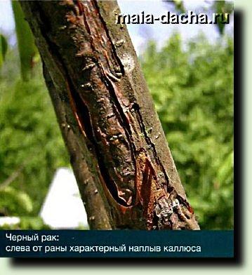 черный рак яблони картинка