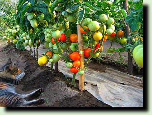 способ посадки томатов