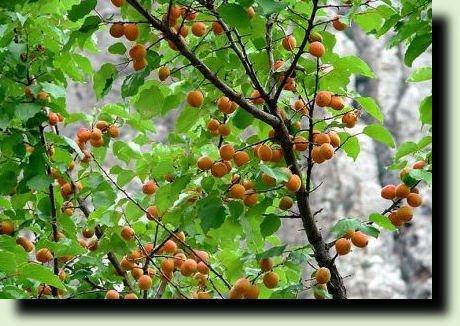 массива абрикосовых деревьев