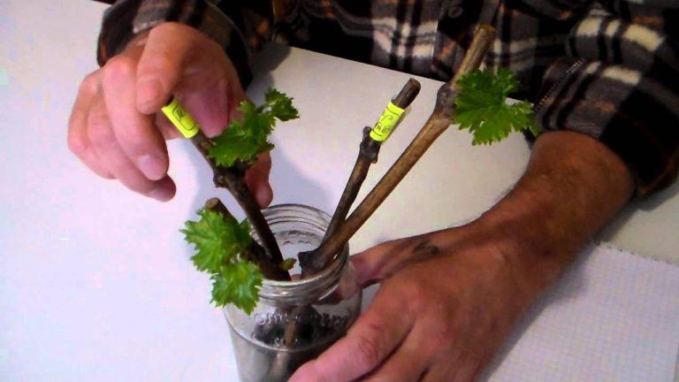 Проращивание винограда в домашних условиях