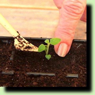 Как самому вырастить рассаду картофеля