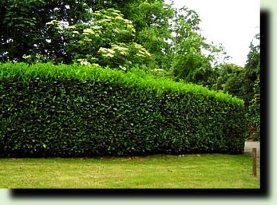 Создаем живую изгородь и как правильно это сделать?