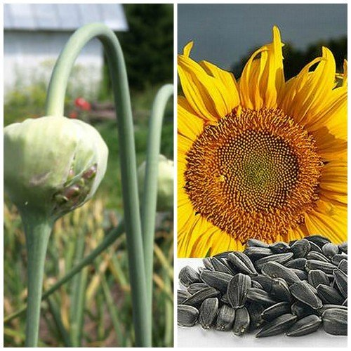 Все семена подразделяются по сортам и размерам