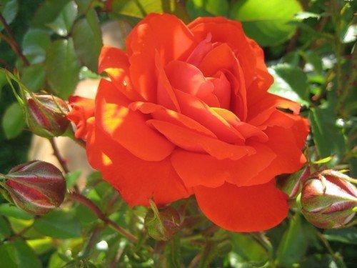 Роза сорта Kordes Бриллиант