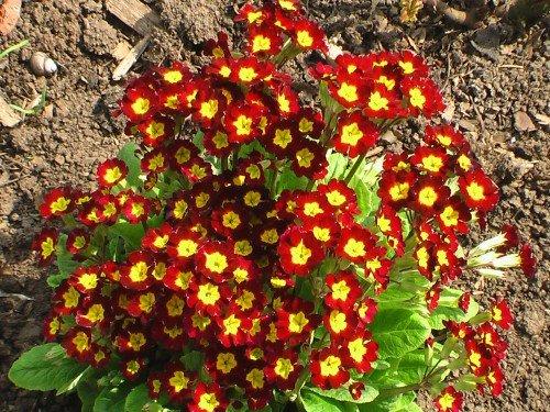 Примула - растение, подходящее для рокария