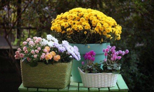 Как разводить хризантемы в горшках