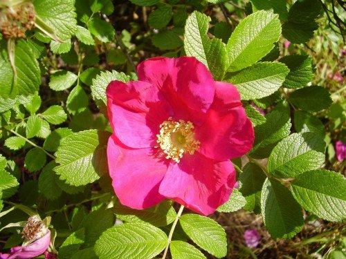 Шиповник относится к семейству Розоцветных