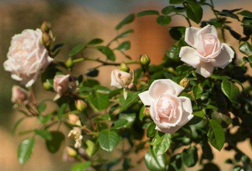 Штамбовая роза не сформированная крона