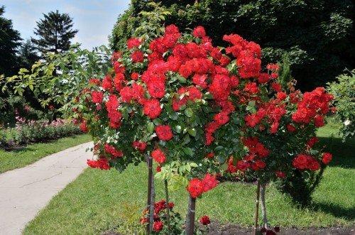Деревце алой штамбовой розы