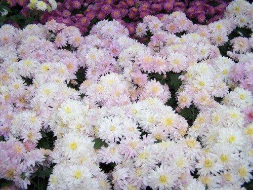 Уход за хризантемами в саду
