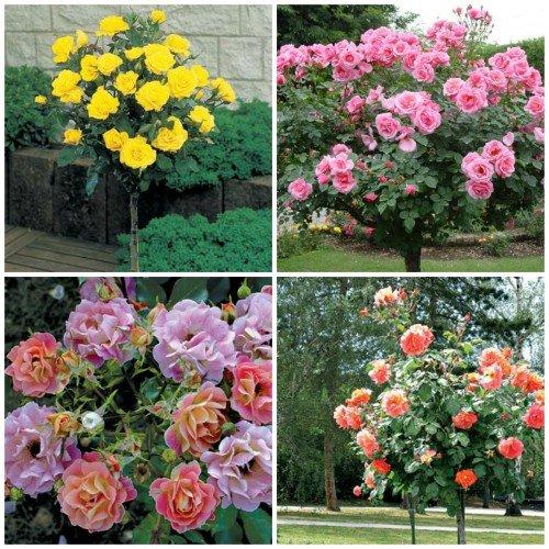 Сорта штамбовых роз