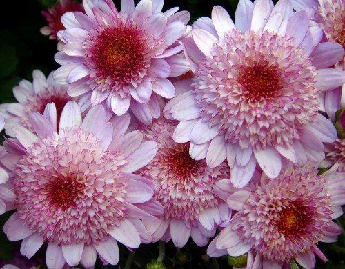 Посадка и размножение хризантем